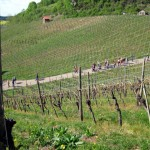 """Durch die Weinlage """"König"""" wandern wir hinunter nach Diefenbach"""