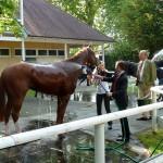 Abduschen der schweißnassen Pferde nach dem Rennen