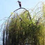 Ein Fischreiher hält Ausschau [Foto: I. Speiser]